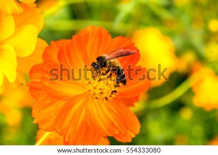Close up of Bee on yellow blooming cosmos flower.( Macro photo ) #554333080