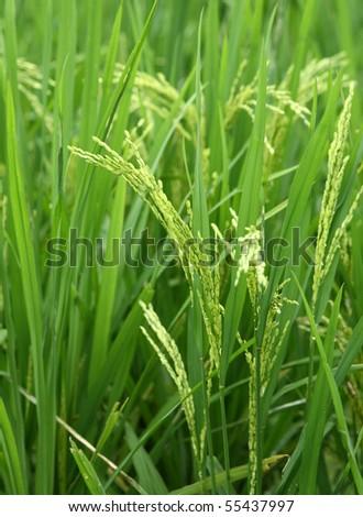 paddy rice #55437997