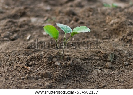 Eggplant Sprout on the Field in Bangladesh, Eggplant Cultivation #554502157