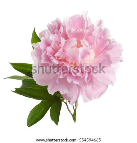 Pink peony flower with leaves isolated on white background.