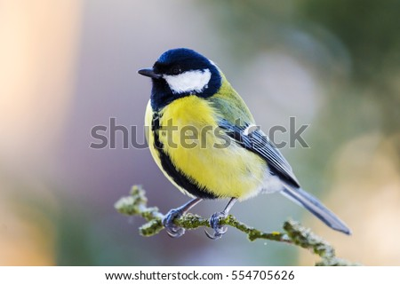 The great tit sitting on tree branch. #554705626