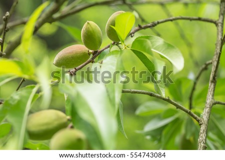 Close-up of Unripe almonds on almond tree #554743084