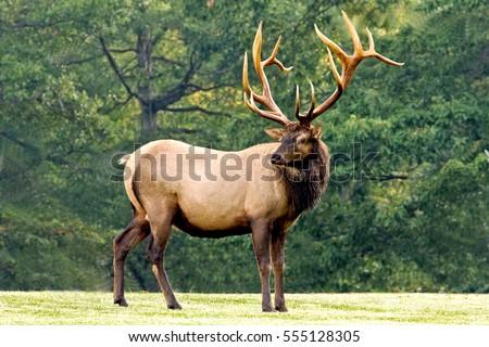 Bull Elk - Photograph taken in Elk State Forest, Elk County, Benezette, Pennsylvania. Royalty-Free Stock Photo #555128305