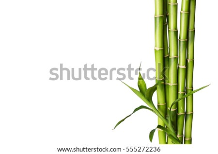 Bamboo shoot. #555272236