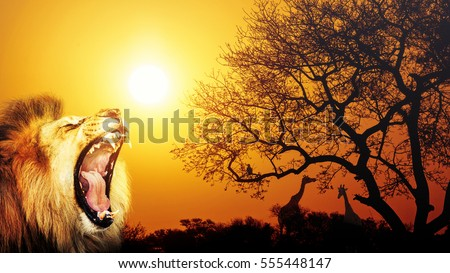 African lion roaring with sunset silhouette of savanna with giraffes in background