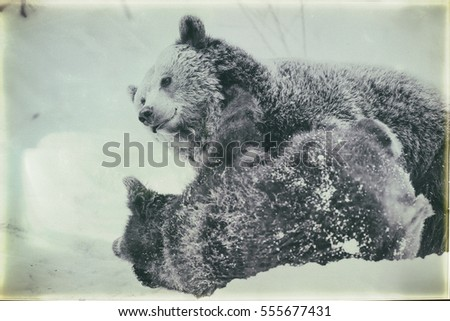 Brown Bears (Ursus arctos) in Lake Clark National Park, Alaska, USA, vintage style #555677431