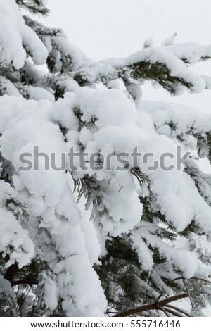 snowy forest in Ukraine #555716446