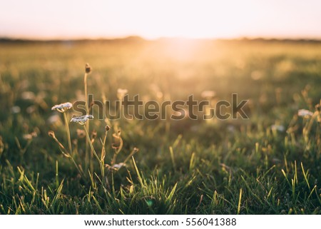 Close up White flower in field with sunrise background #556041388