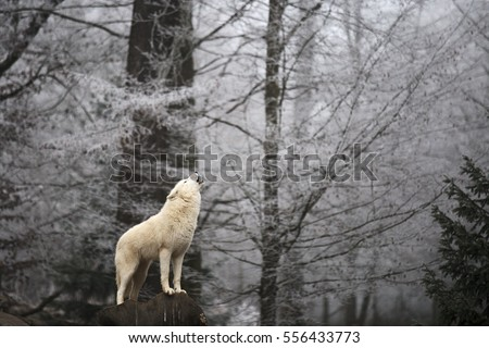 Wolf's howling in the winter forest, magic moment. Blurry background with white forest