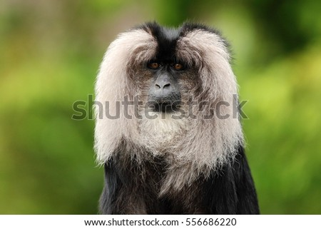 Portrait of Lion-tailed Macaque, Macaca silenus. Funny monkey, face to face look. Clear green background. #556686220