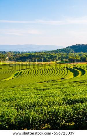 Tea plantation in Thai, Thailand. #556723039