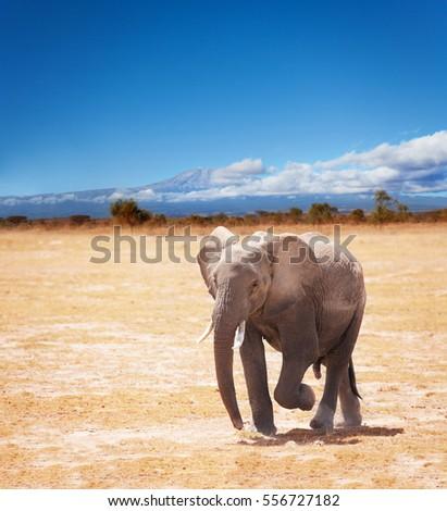 Picture of elephant on Kilimanjaro background