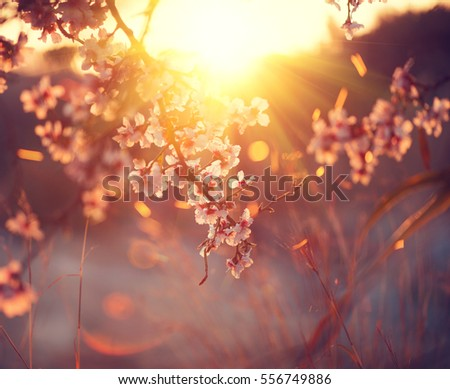 Spring blossom background. Beautiful nature scene with blooming tree and sun flare. Sunny day. Spring flowers. Beautiful Orchard. Abstract blurred background. Easter, Springtime. #556749886