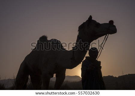 silhouette of a camel and the rider during sunset. #557032630