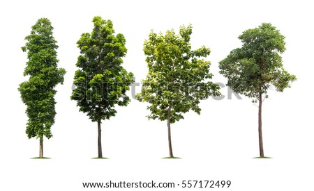Collection of isolated tall trees on white background Royalty-Free Stock Photo #557172499