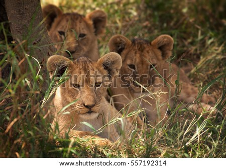Three cubs of Transvaal or Southeast African lion, Panthera leo krugeri resting in the shade. Entabeni game reserve, South Africa.