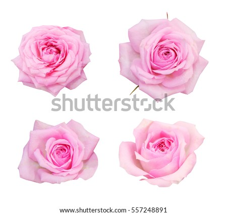 Pink roses on a white background, isolated photo.