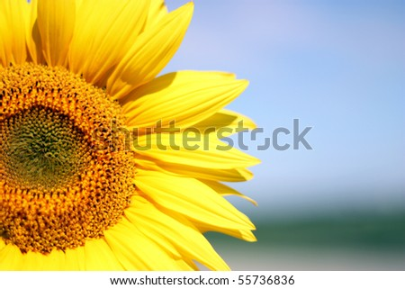 Close up of yellow sunflower in the field #55736836