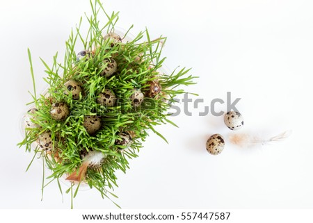 Easter holiday attributes sets. Quail eggs, green shoots sprouted wheat on white background. Easter holiday eco concept #557447587