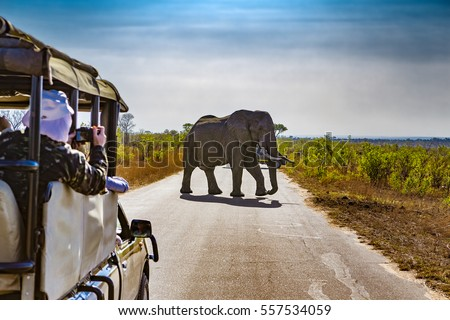 South Africa. Safari in Kruger National Park - African Elephants (Loxodonta africana) Royalty-Free Stock Photo #557534059