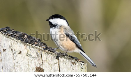 Chickadee On A fence Post Eating Seeds  #557605144