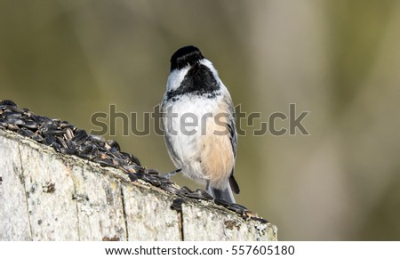 Chickadee On A fence Post Eating Seeds  #557605180