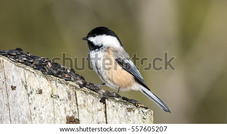 Chickadee On A fence Post Eating Seeds  #557605207
