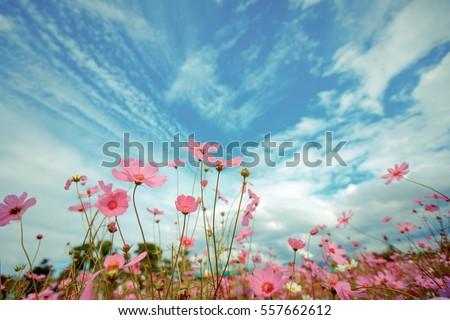 Cosmos flower blossom in garden #557662612