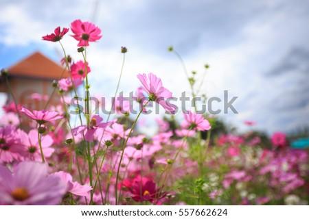 Cosmos flower blossom in garden #557662624