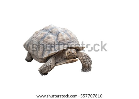 Turtle isolated on white background. Clipping path
