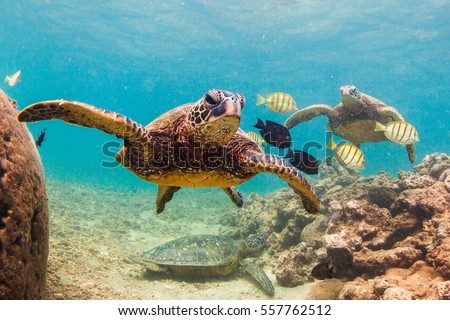 An endangered Hawaiian Green Sea Turtle cruises in the warm waters of the Pacific Ocean in Hawaii. #557762512