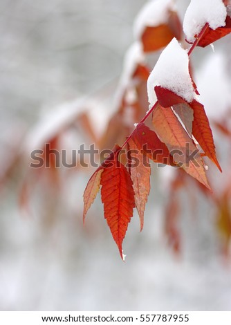 Yellow leaves in snow. Late fall and early winter. Blurred nature background with shallow dof. #557787955