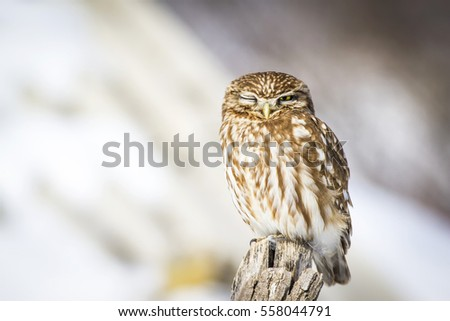 Winter and owl. Little Owl. Athene noctua. Nature background.
