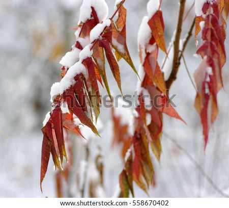 Yellow leaves in snow. Late fall and early winter. Blurred nature background with shallow dof. #558670402