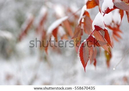 Yellow leaves in snow. Late fall and early winter. Blurred nature background with shallow dof. #558670435