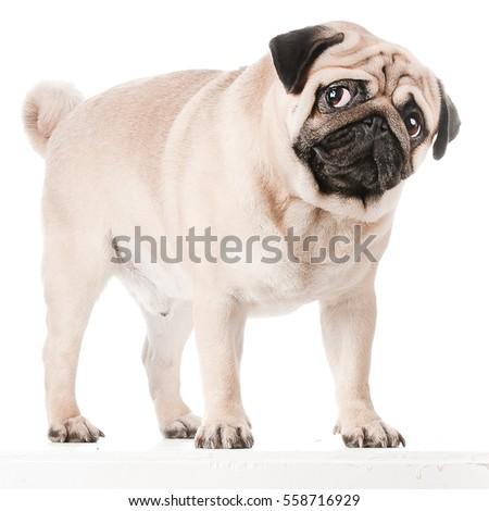 Pug dog isolated #558716929
