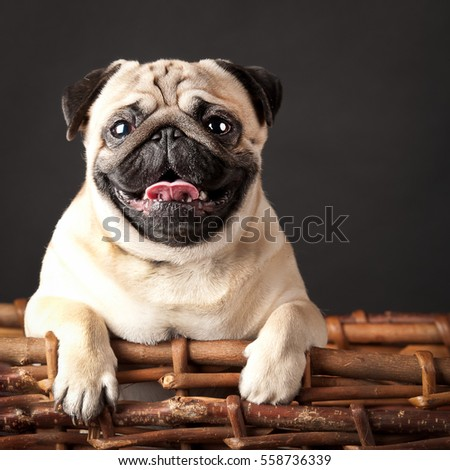 pug in a basket