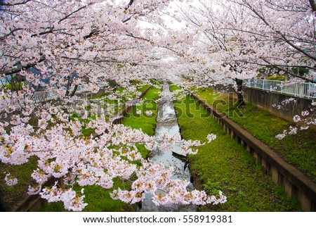 Perfect Sakura Cherry Blossoms in Japan #558919381