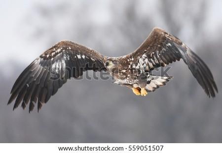 White tailed Eagle (Haliaeetus albicilla) #559051507