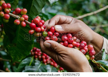 harvesting coffee berries by agriculturist hands #559059673