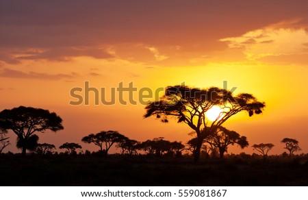 Typical african sunset with acacia trees in Masai Mara, Kenya #559081867