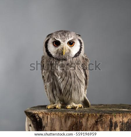 Northern white-faced owl Ptilopsis leucotis studio portrait with grey background