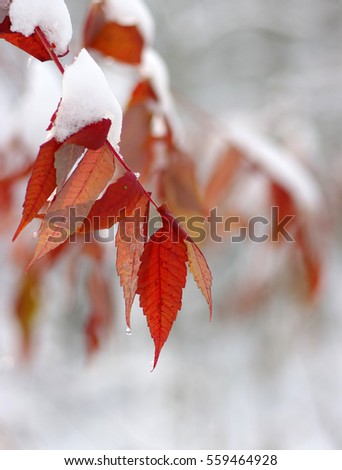 Yellow leaves in snow. Late fall and early winter. Blurred nature background with shallow dof. #559464928