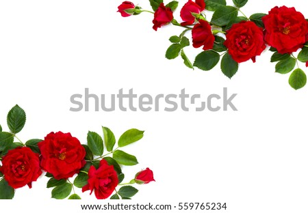 Frame of red roses and buds (shrub rose) on a white background with space for text. Top view, flat lay. Valentine composition. #559765234
