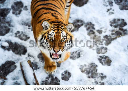 Beautiful Amur tiger on snow. Tiger in winter forest #559767454