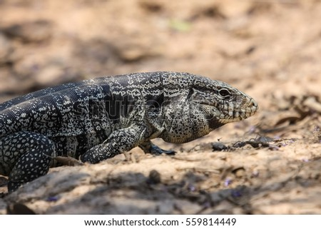 Close up of a Black and white tegu, Pantanal, Brazil #559814449