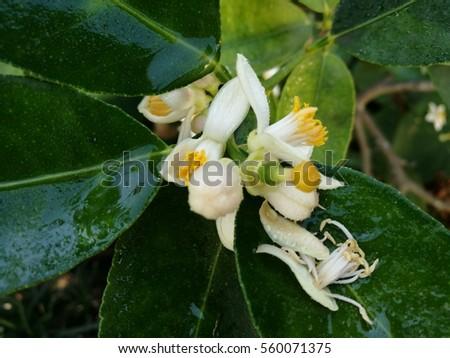 lime blossom #560071375