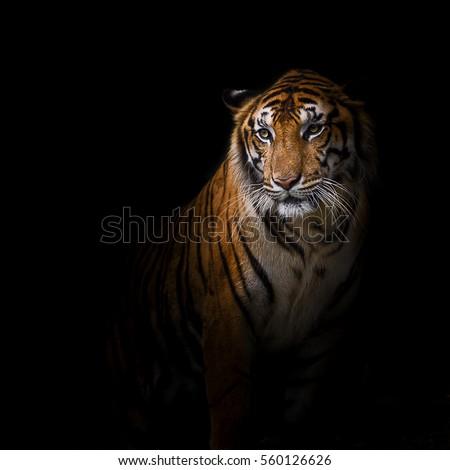 Tiger looking something. #560126626