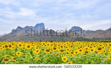 sun flowers #560133334