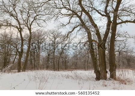oak grove in winter. all in the snow. #560135452
